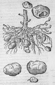aardappelClusius